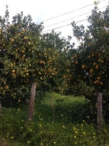 lemon grove in Mallorca